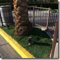 ラスベガスの人工芝